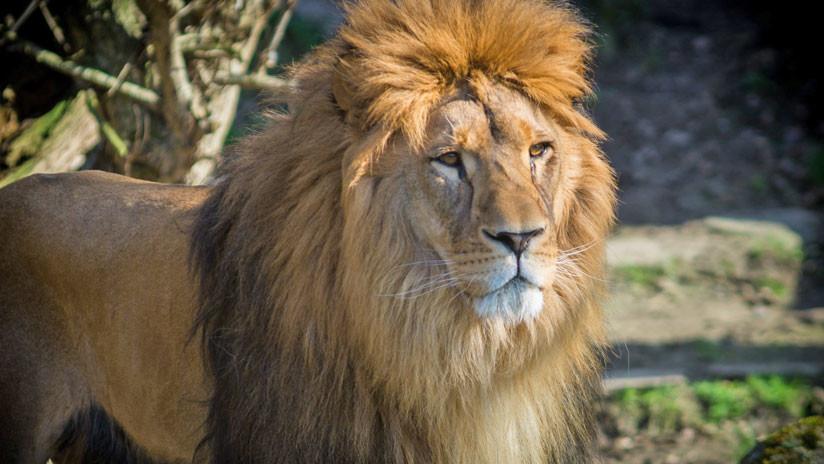 México: Un león mata a un cuidador que olvidó cerrar una puerta