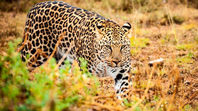 VIDEO: Enfrentamiento entre un jaguar y un oso hormiguero termina con un giro inesperado
