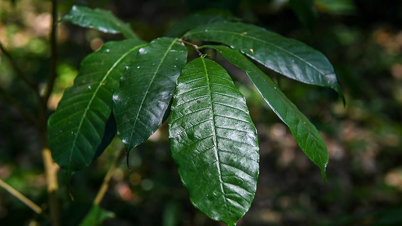 """Este árbol """"mágico"""" de Colombia es un titán contra la polución mediambiental"""