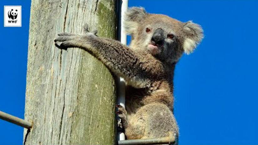 VIDEO: Rescatan a un koala que pasó dos días sin poder bajar de un poste bajo un sol abrasador