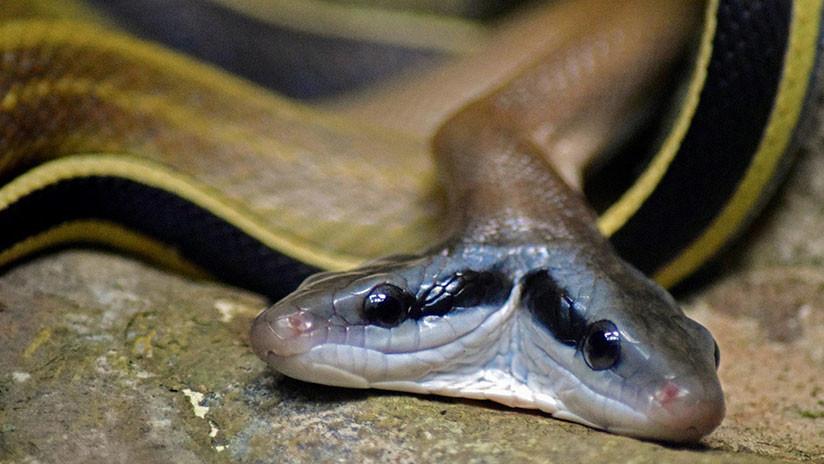 Dos cabezas, dos corazones, un cuerpo: una serpiente maravilla a los veterinarios (VIDEO)