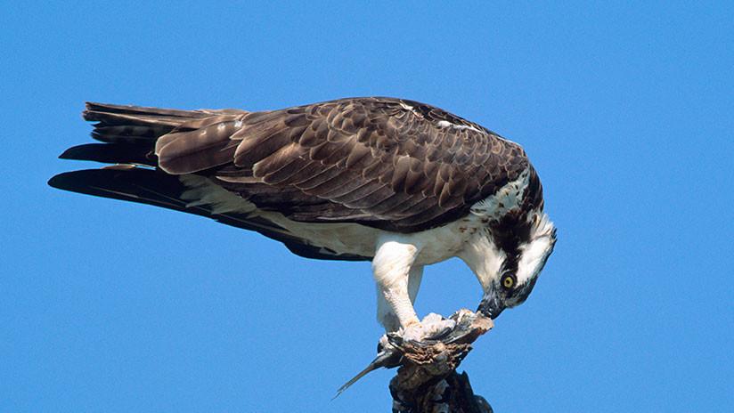 VIDEO: Un halcón se hace 'dueño' de las calles de Nueva  York
