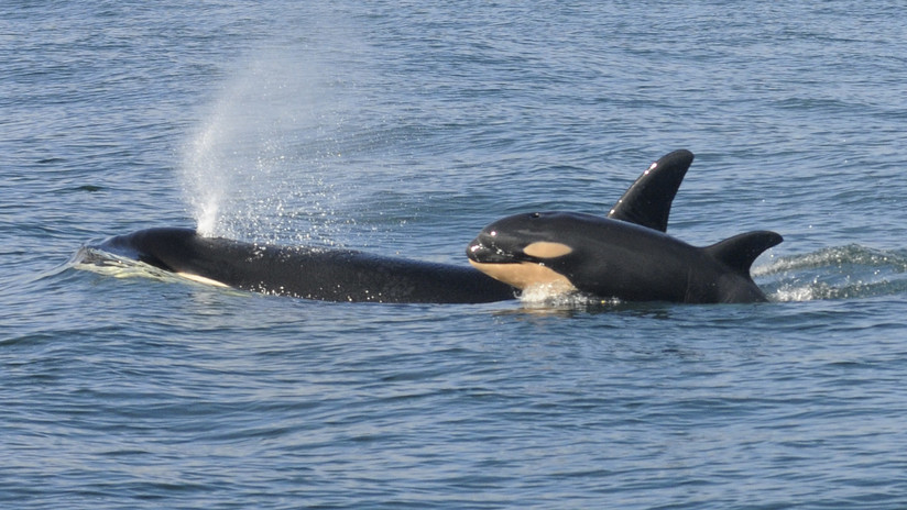 """""""Estábamos horrorizados"""": Una orca mata a una cría para aparearse con su madre (VIDEO)"""