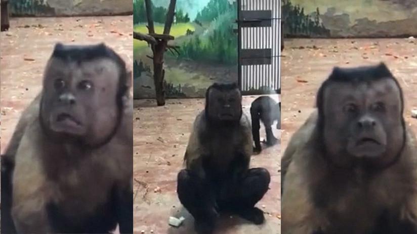 China: Un mono con cara 'humana' y aspecto depresivo es la atracción de un zoológico (VIDEO)
