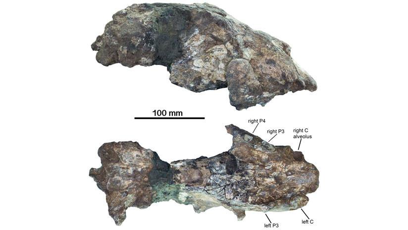 Hallan fósiles de leones gigantes con altura de humanos