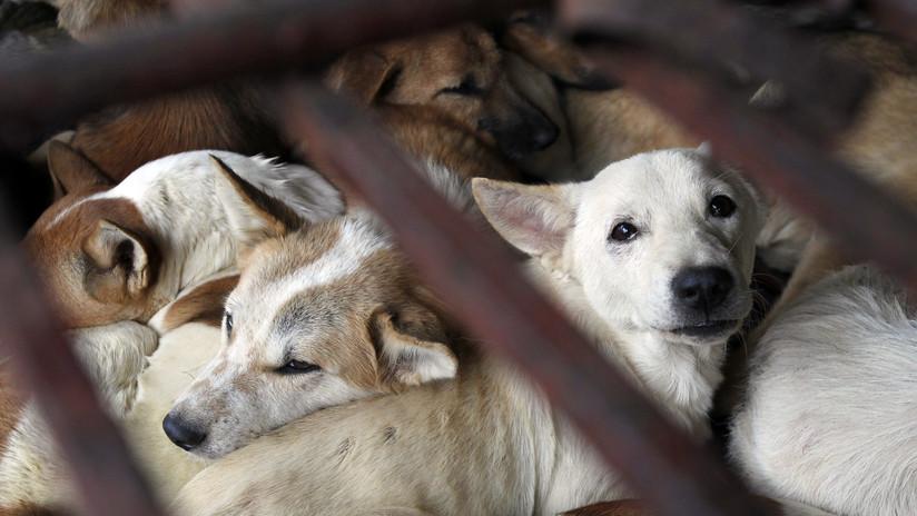 FUERTE VIDEO: Un camión repleto de perros enjaulados se dirige a un matadero de Vietnam