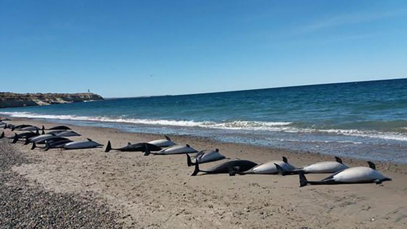 Mueren 49 delfines en las costas de Argentina (FOTOS)