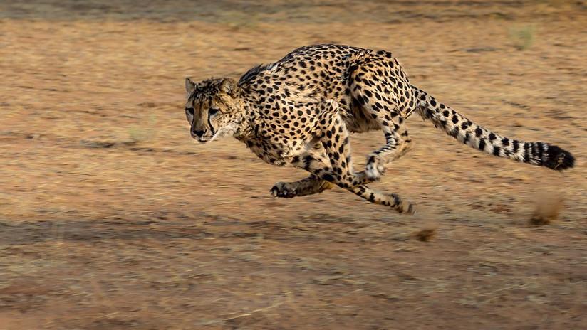 VIDEOS: Se lleva el susto de su vida cuando un guepardo entra en su vehículo en un safari