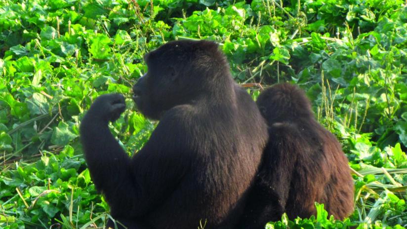 FOTO: Una gorila y un hombre se abrazan y van de la mano por un parque