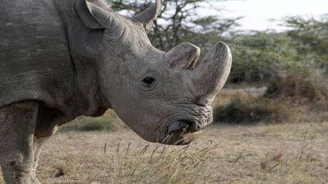 'Sudan', el último rinoceronte blanco del norte, pasea por la reserva de Ol Pejeta. Kenia, 18 de junio de 2017.