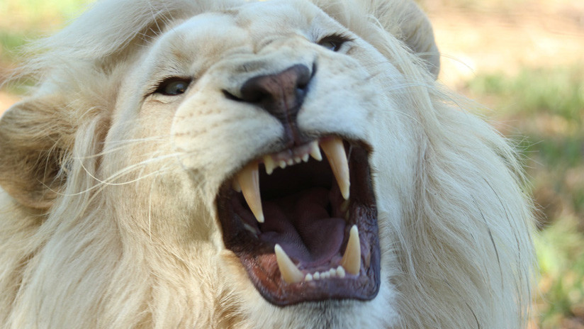 VIDEOS: Un curioso león blanco le provoca un tremendo susto a turistas en Sudáfrica