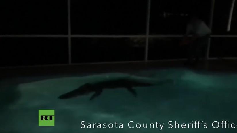 VIDEO Y FOTOS: Sacan un caimán de más de 3 metros de una piscina en Florida