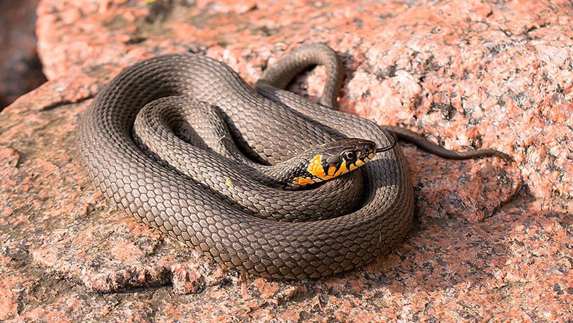 VIDEO: Graba el momento aterrador en que una serpiente mortal entra en su pantalón