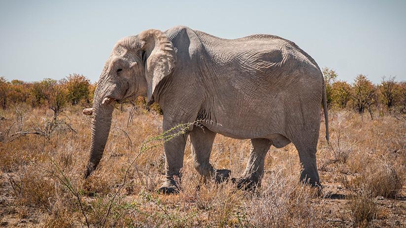VIDEO: Las agónicas últimas horas de vida de una elefanta torturada hasta la muerte