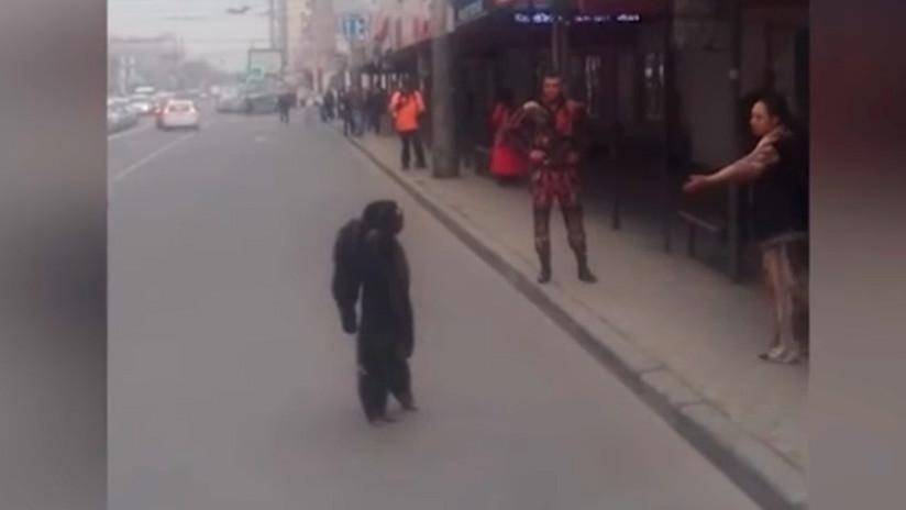VIDEO: Un chimpancé prófugo se pasea por las calles de una ciudad rusa como un vecino más