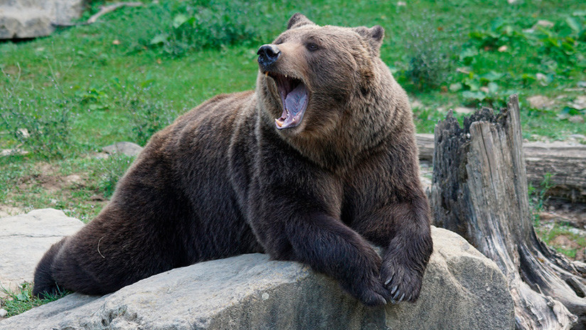 VIDEO: El masaje de una joven presumida a un oso 'borracho' que incendia Instagram