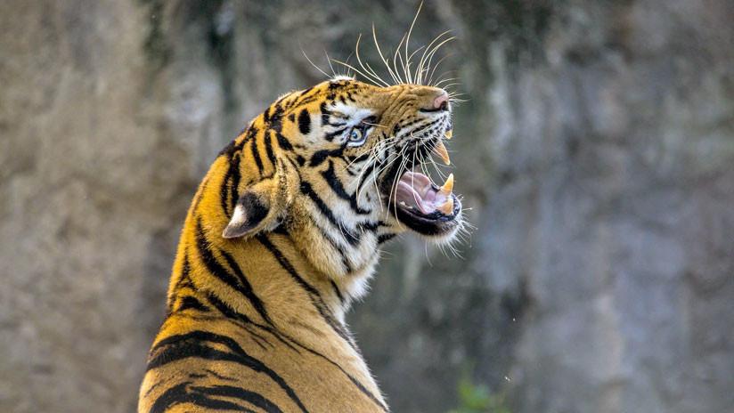 Una joven india ataca a un tigre y lo apalea
