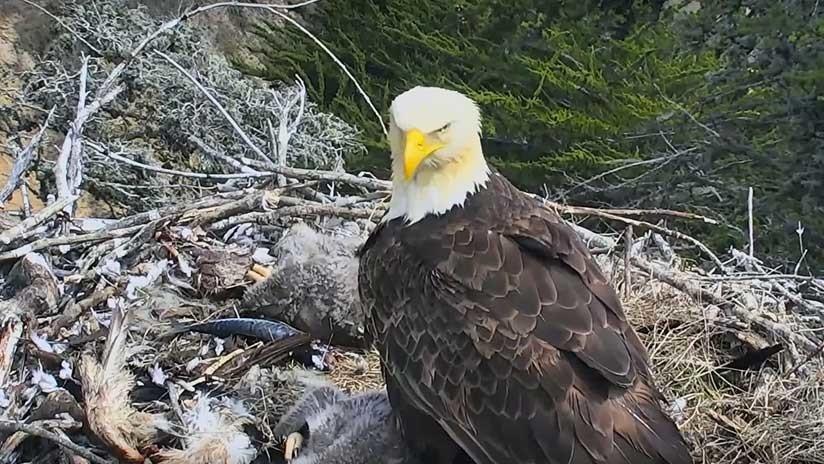 VIDEO: Un águila se asusta con un sismo y abandona a sus pichones en el nido (pero todo sale bien)