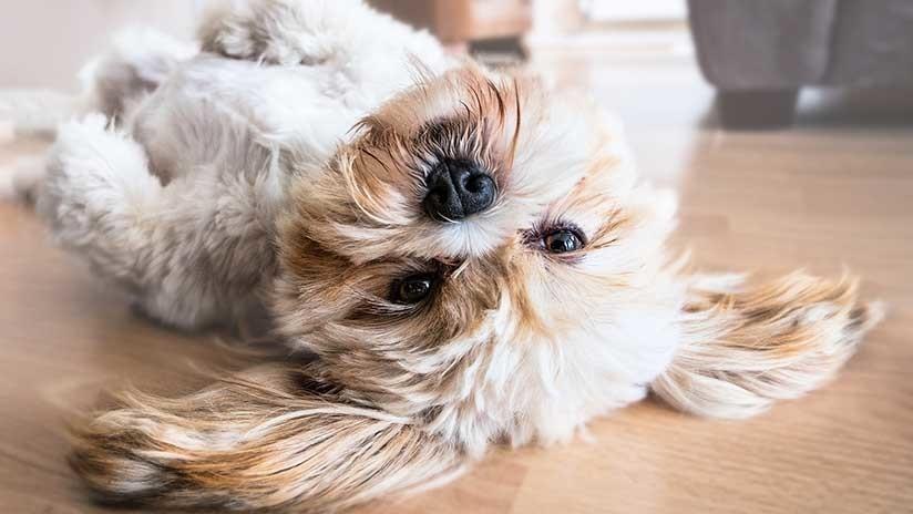 FOTOS: Este perrito con orejas de Mickey Mouse no para de conquistar corazones