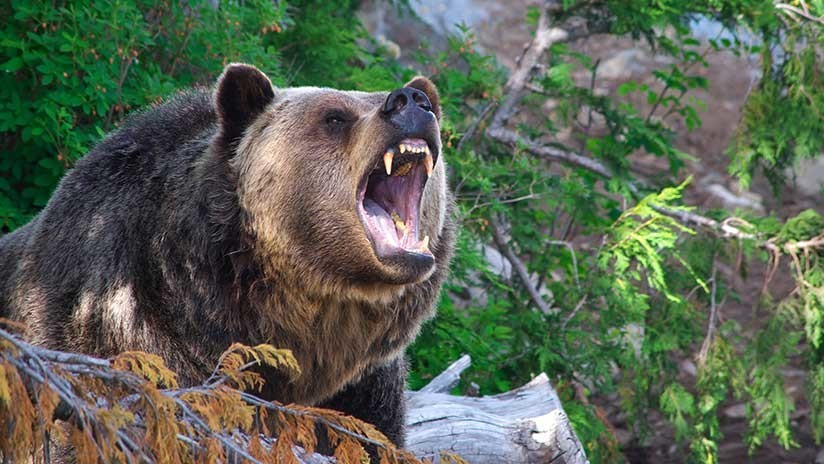 FOTO: Un oso 'rebelde' rompe una valla para huir de Letonia a Rusia