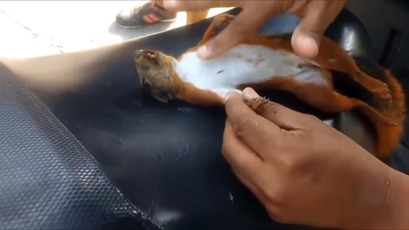 Un colombiano salva a una ardilla haciéndole un masaje cardiopulmonar con el dedo (VIDEO)