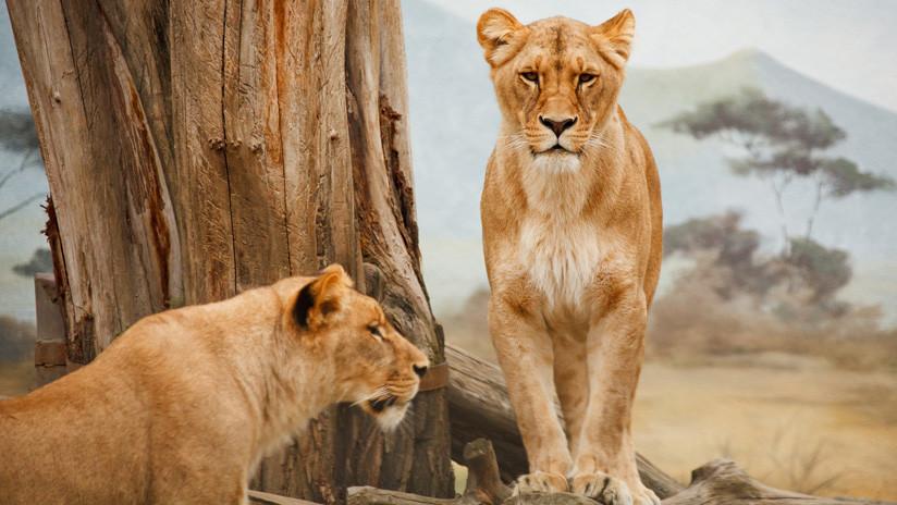 VIDEO: Búfalos con un 'león' a la cabeza resisten el ataque de una manada de leonas