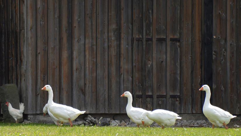 Decenas de gansos muertos caen del cielo en EEUU (Fotos)