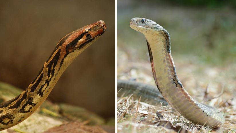 VIDEO: Filman una reñida pelea entre una cobra y una pitón