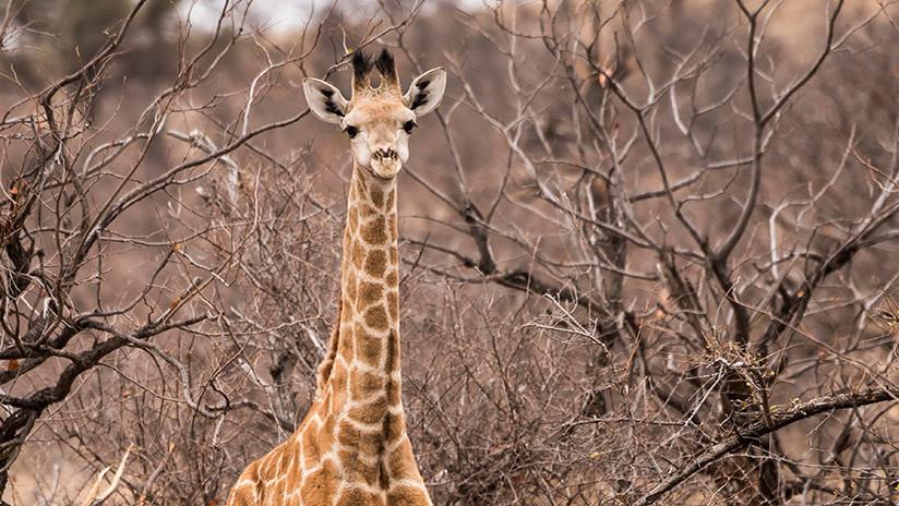 VIDEO: La trágica y absurda muerte de una jirafa tras quedar atrapada entre dos ramas de árbol