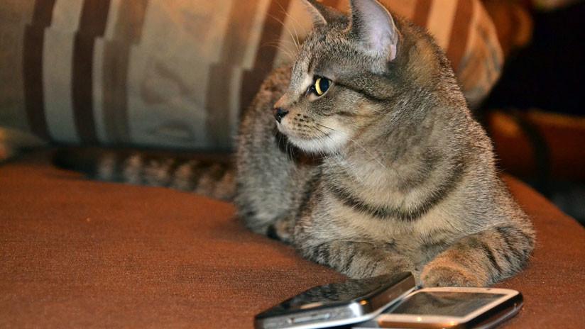 Costa Rica: Atrapan a un gato entrenado para llevar celulares dentro de la cárcel