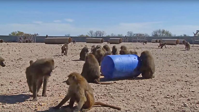 El increíble plan de tres monos para escapar de un laboratorio en Texas