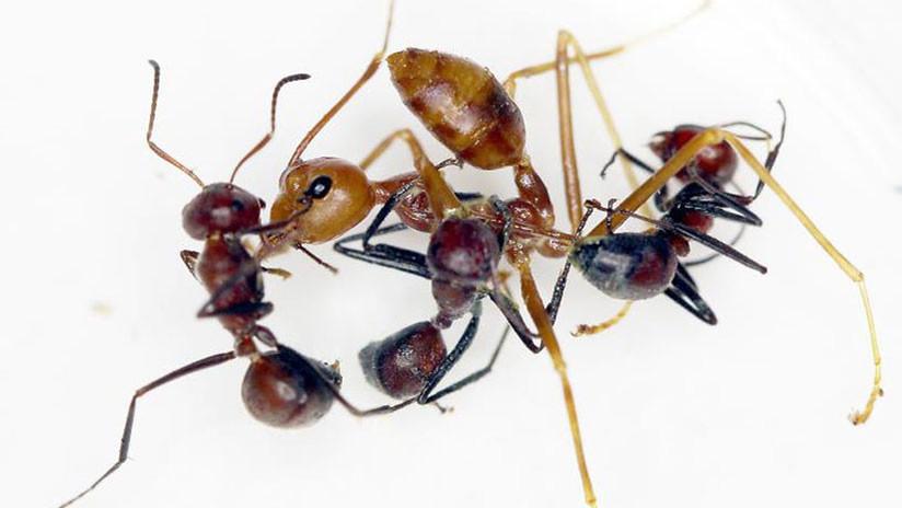 FOTOS: Descubren una especie totalmente nueva de 'hormigas explosivas'