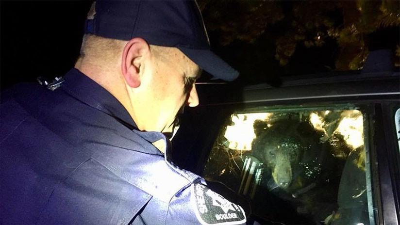 """VIDEO: Un oso """"enojado con hambre"""" entra en un coche y queda encerrado"""