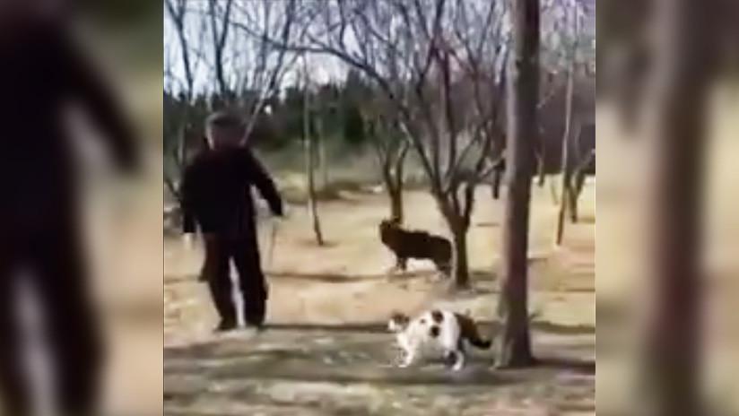 VIDEO: Banda de gatos callejeros ataca y vence a un jubilado y su perro en China