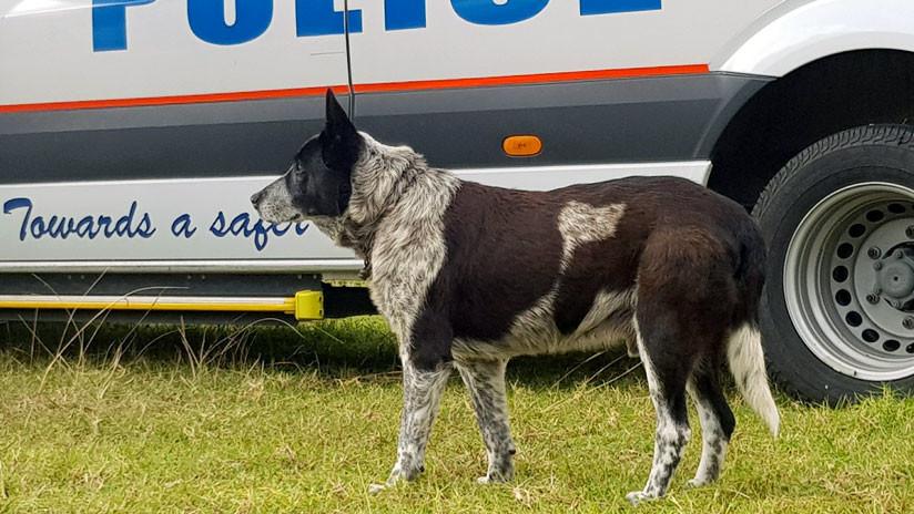 'Superhéroe' de cuatro patas: Un perro sordo y casi ciego salva a una niña perdida en las montañas