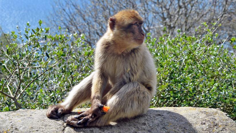 Karma instantáneo: Empuja a un macaco y sufre una cruel venganza animal (VIDEO, FOTO)