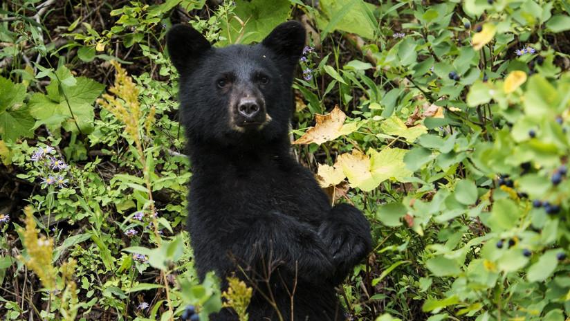 VIDEO: Un oso muestra sus dotes como director de cine y consigue una buena imagen