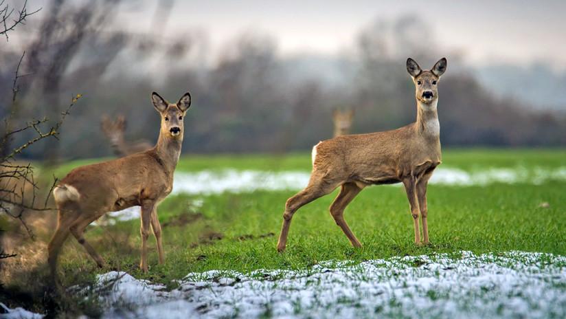 EE.UU.: Detectan a dos ciervos que sobreviven atravesados con flechas (FOTOS 18+)