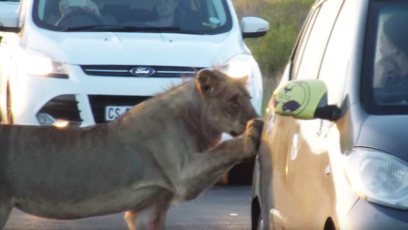 VIDEO: Una leona intenta abrir la puerta de un coche de turistas en Sudáfrica