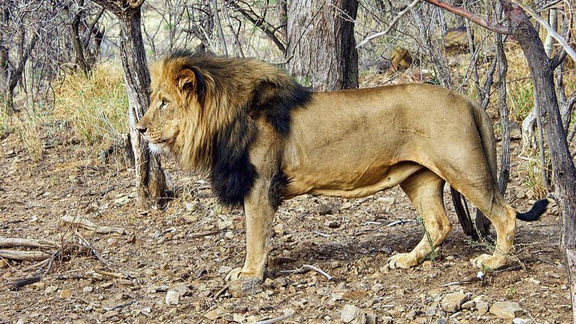FUERTE VIDEO: Un león ataca al dueño de una reserva de caza en Sudáfrica