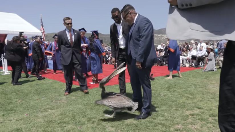 VIDEO: Dos pelícanos 'atacan' una ceremonia de graduación universitaria en California