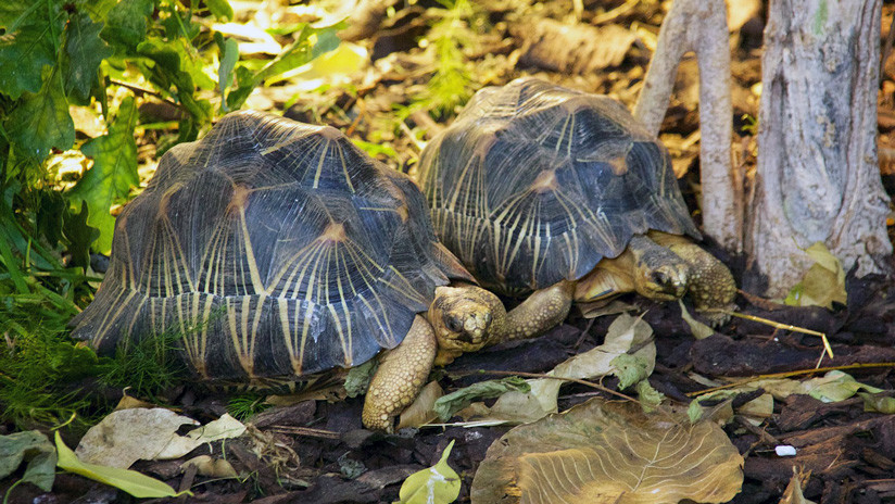 FOTOS: Un olor nauseabundo conduce a la Policía hasta una casa donde había 10.000 tortugas raras