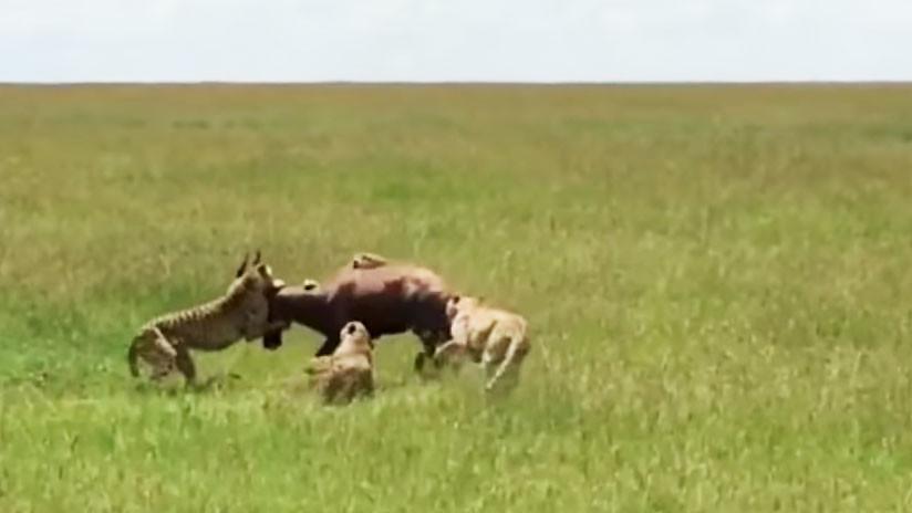 VIDEO: La épica resistencia de un antílope contra el 'abrazo' de cinco guepardos