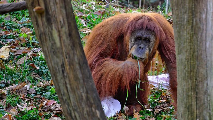 VIDEO: Visitante de un zoo se gana el beso más inesperado… de un orangután