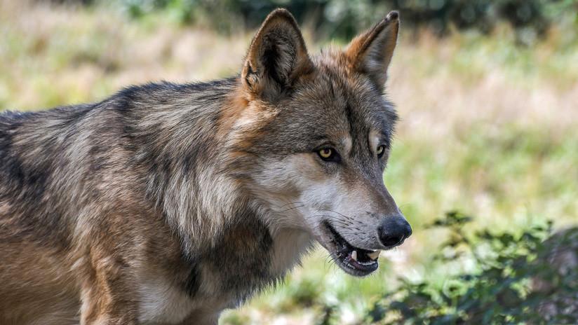 VIDEO: El momento en que matan de un tiro a la única loba salvaje de Dinamarca en 200 años
