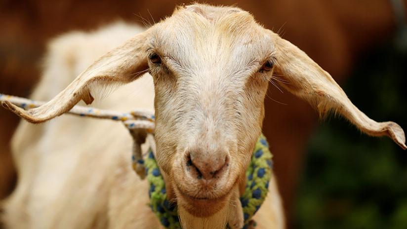 FOTO: Una cabra pronostica qué selección ganará el Mundial de Rusia 2018