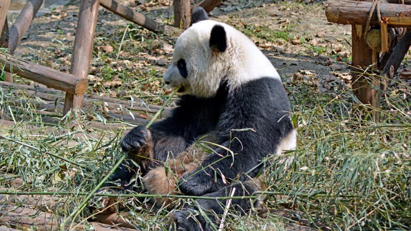 ¿Pierden el típico color?: Algo sucede con las manchas negras en los ojos de los pandas