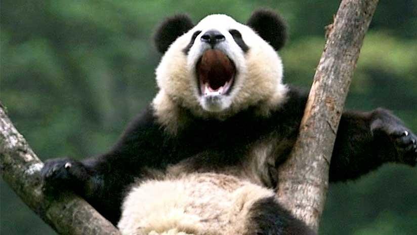 FOTO: Una extraña enfermedad blanquea las manchas negras de los pandas