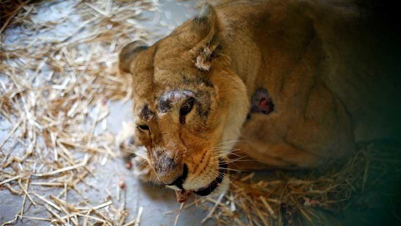 FOTO: Un zoo filipino condena a una leona a una muerte cruel por estar ciega
