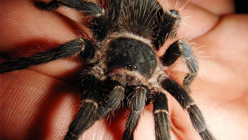 ¡No apto para aracnofóbicos!: Una mujer sostiene en su mano decenas de arañas pequeñas (VIDEO)